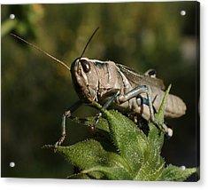 Grasshopper 2 Acrylic Print by Ernie Echols