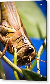 Grasshopper Acrylic Print by Christy Patino