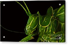 Grasshopper Cleaning Antenna Acrylic Print