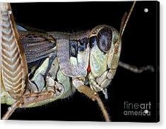 Grasshopper With Parasitic Mite Acrylic Print by Ted Kinsman