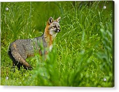 Gray Fox - 5380 Acrylic Print