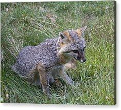 Gray Fox Acrylic Print by Chuck Homler