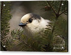Gray Jay Playing Peek A Boo Acrylic Print by Inspired Nature Photography Fine Art Photography