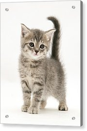Gray Tabby British Shorthair Kitten Acrylic Print by Jane Burton