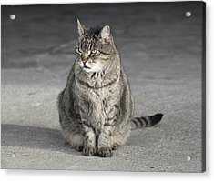 Gray Tabby Cat Sitting On Concrete Floor Acrylic Print by Diane Miller