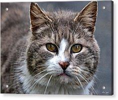 Gray Tabby Tux Cat Acrylic Print by Chriss Pagani