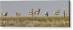 Grazing Antelope Acrylic Print by Bruce Bley