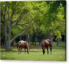 Grazing Pair Of Horses Acrylic Print