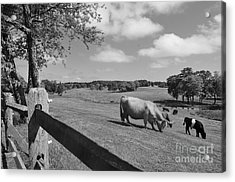 Grazing The Day Away Acrylic Print by Catherine Reusch Daley