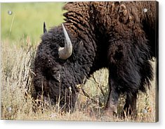 Grazing The Yellowstone Valley Acrylic Print by David Dunham