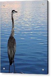 Great Blue Acrylic Print by Christy Usilton