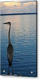 Great Blue Dusk Acrylic Print by Christy Usilton