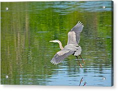 Great Blue Heron - Where To Now Acrylic Print by Mary McAvoy