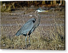 Great Blue Heron 2 Acrylic Print by Harry Strharsky