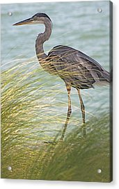 Great Blue Heron And Grass Acrylic Print