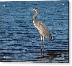 Acrylic Print featuring the photograph Great Blue Heron by Art Whitton