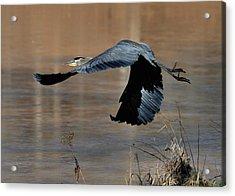 Great Blue Heron Flight - C1287g Acrylic Print by Paul Lyndon Phillips