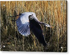 Great Blue Heron Flying In The Marsh Acrylic Print by Paulette Thomas