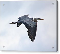 Great Blue Heron In Cloudy Sky Acrylic Print by Mary McAvoy