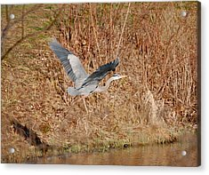 Acrylic Print featuring the photograph Great Blue Heron In Flight by Mary McAvoy