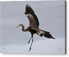 Great Blue Heron In Flight Acrylic Print by Paulette Thomas