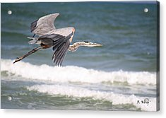 Great Blue Heron In Flight Acrylic Print by Roena King
