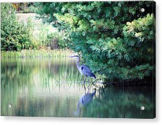 Acrylic Print featuring the photograph Great Blue Heron In Pines by Mary McAvoy
