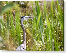 Acrylic Print featuring the photograph Great Blue Heron In Reeds by Mary McAvoy