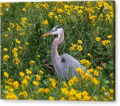 Great Blue Heron In The Flowers Acrylic Print by Myrna Bradshaw