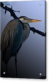 Great Blue Heron In The Tree Acrylic Print