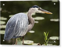 Acrylic Print featuring the photograph Great Blue Heron  by Jeannette Hunt