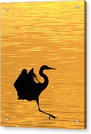 Acrylic Print featuring the photograph Great Blue Heron Landing In Golden Light by Randall Branham
