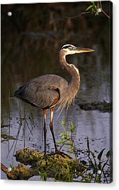 Great Blue Heron Acrylic Print by Natural Selection Ralph Curtin