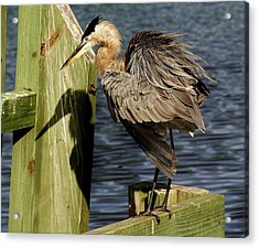 Great Blue Heron On The Block Acrylic Print by Paulette Thomas