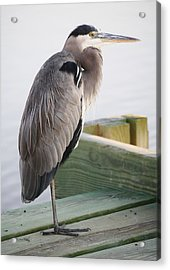 Great Blue Heron On The Dock Acrylic Print by Paulette Thomas