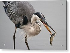 Great Blue Heron Acrylic Print by Paul Marto