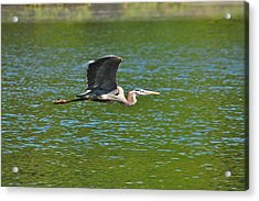 Great Blue Heron Reaching Cruise Altitude Acrylic Print by Mary McAvoy