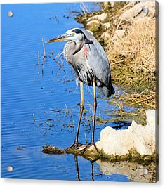 Great Blue Heron Resting Acrylic Print by Suzie Banks