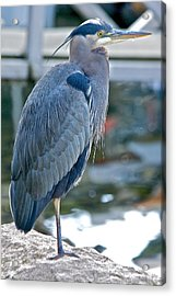Acrylic Print featuring the photograph Great Blue Heron by Scott Holmes