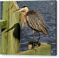 Great Blue Heron Shadow Acrylic Print by Paulette Thomas