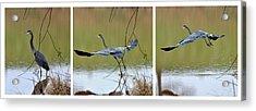 Great Blue Heron Takes Flight - T9535-7h  Acrylic Print by Paul Lyndon Phillips