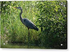 Great Blue Heron Waiting To Eat Acrylic Print