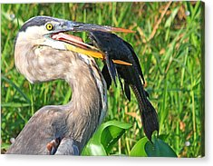 Great Blue Heron With Catfish Acrylic Print