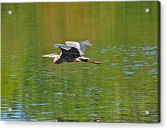 Great Blue Heron With Confidence Acrylic Print