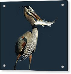 Great Blue Heron With Fish Acrylic Print by Paulette Thomas