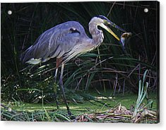 Great Blue Heron With The Catch Of The Day Acrylic Print by Paulette Thomas