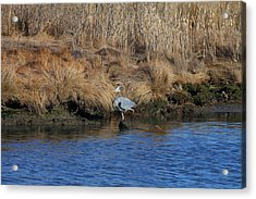 Great Blue Heron6 Acrylic Print