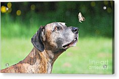 Great Dane Rufus Dagoofus With Butterfly Acrylic Print