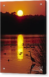 Acrylic Print featuring the photograph Great Egret - Santa Barbara Bird Refuge by Craig Lovell
