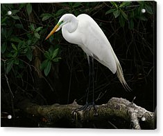 Acrylic Print featuring the photograph Great Egret by Anne Rodkin